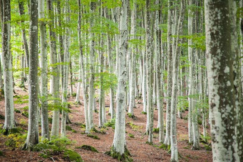 The beech forest of Monte Amiata
