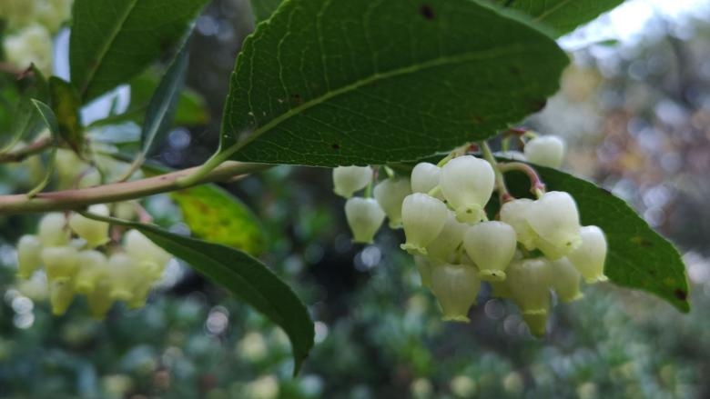 Flowering of the strawberry tree