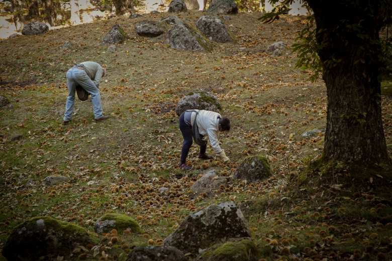 The chestnut harvest in Amiata
