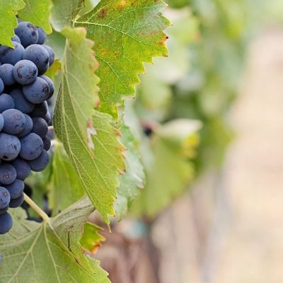 Brunello grapes