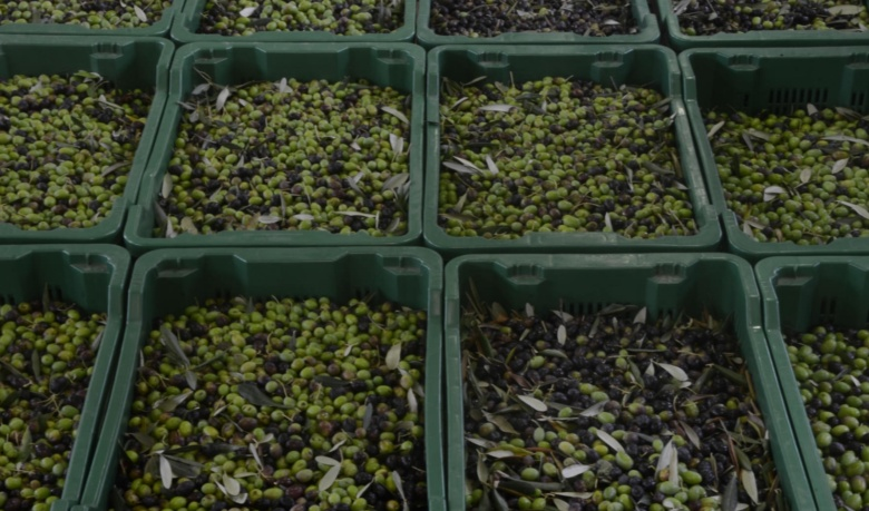 Olives ready to become oil