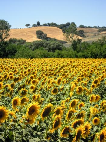 Sunflowers in Asciano