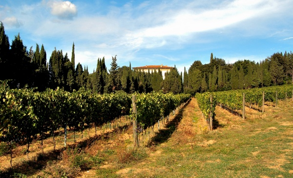 Vineyard in Rufina