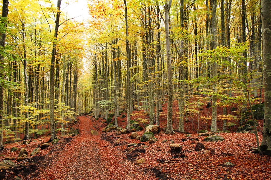 The beech forest
