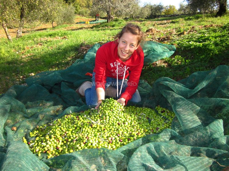 Olive harvest experience in Tuscany