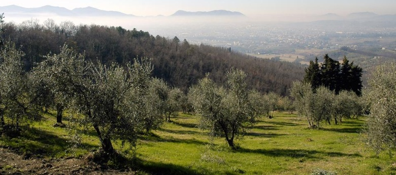 Olive groves near Lucca