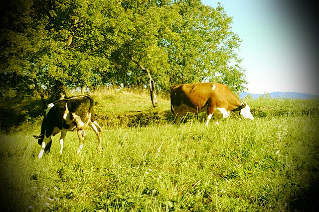 Garfagnana cows [Photo Credits: Around Tuscany http://ow.ly/hdGYs]