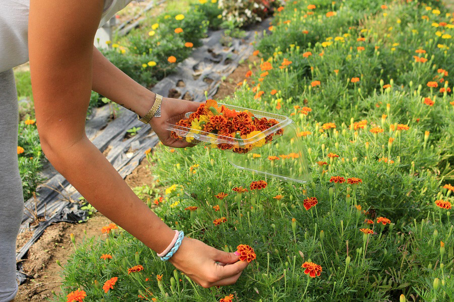 Picking edible flowers