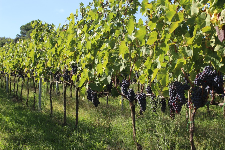 Sangiovese vineyards [Photo credits: Flavia Cori, Tuscany Social Media Team]