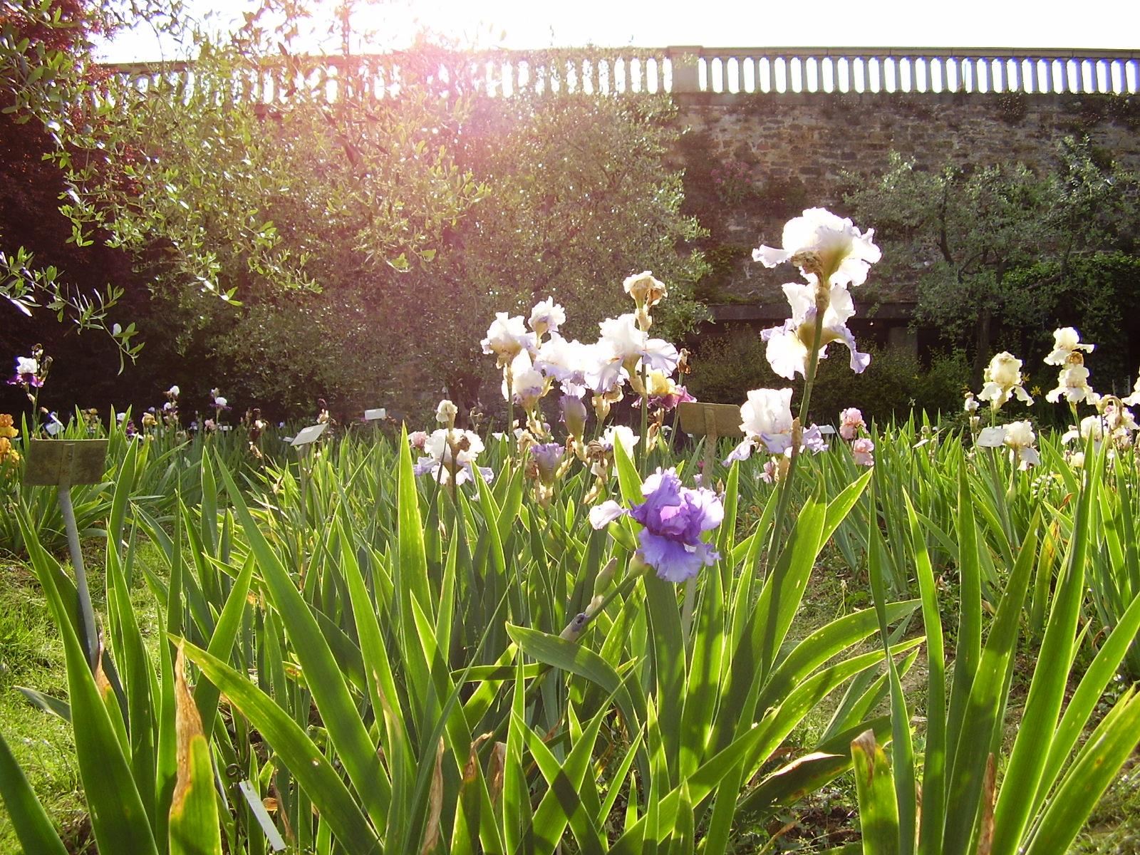 Iris garden in florence visit tuscany photo credit wikimedia commons izmirmasajfo