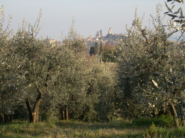 Olive groves in San Gimignano