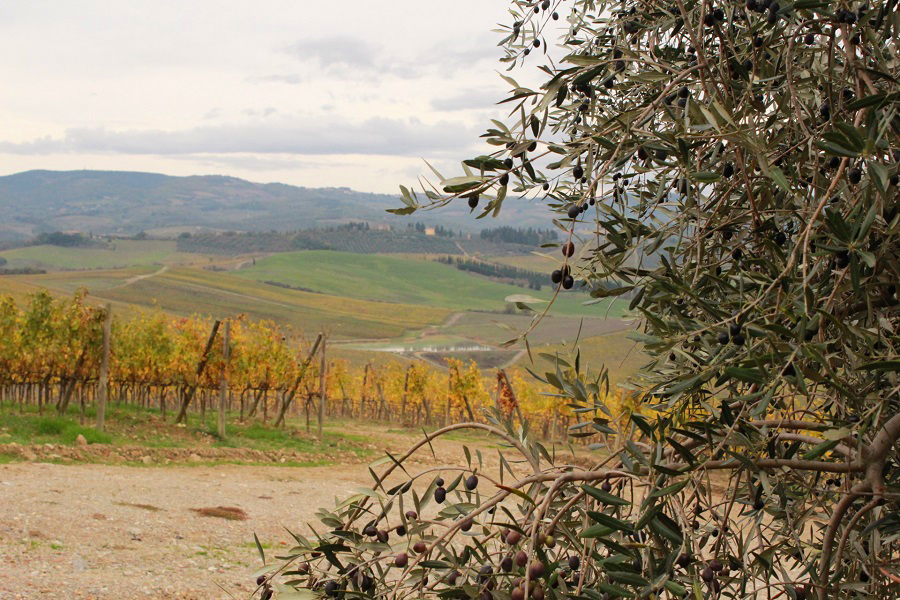 Villa Cerna vineyards and olive groves in Castellina in Chianti