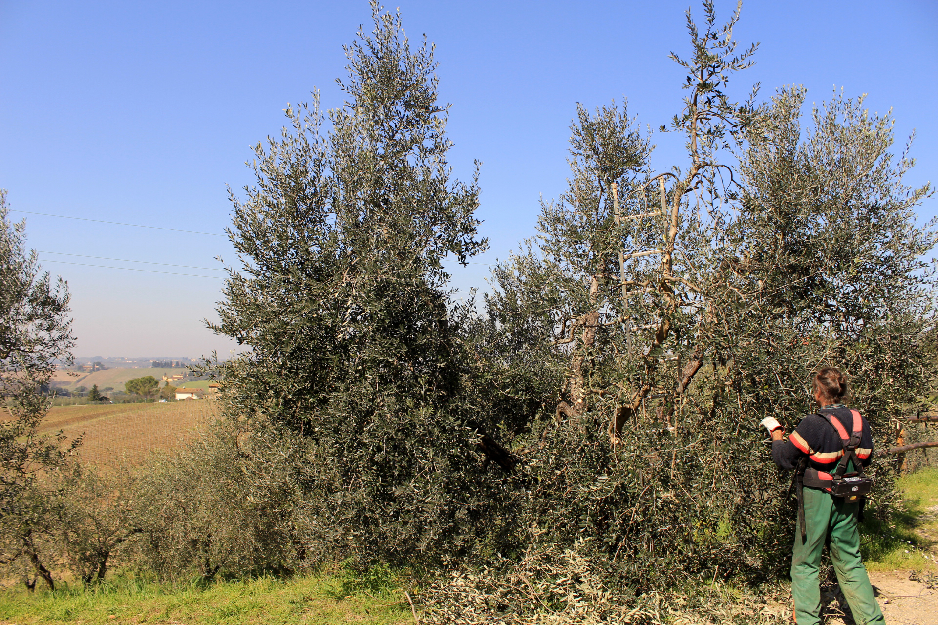 Pruning olive trees at San Michele a Torri farm (Scandicci)