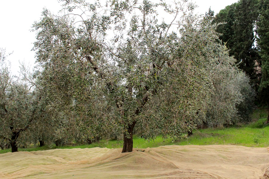 Olive tree in Villa Cerna (Cecchi winery)
