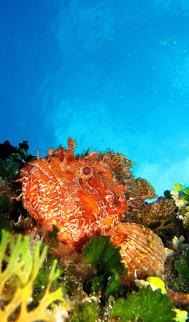 Scorpionfish [Photo Credits: riandreu]