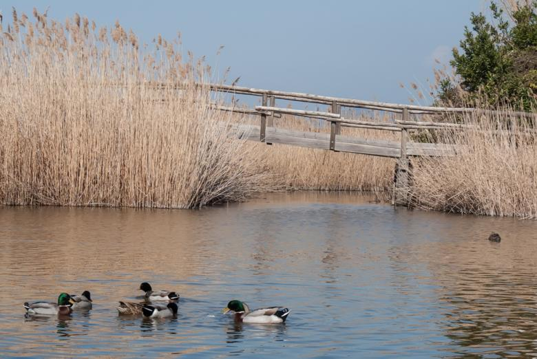 Mallards on Lake Massaciuccoli