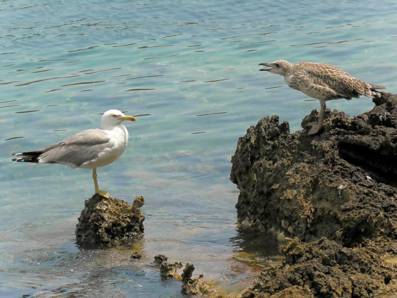 Giannutri is a nesting-place for the yellow-legged gull