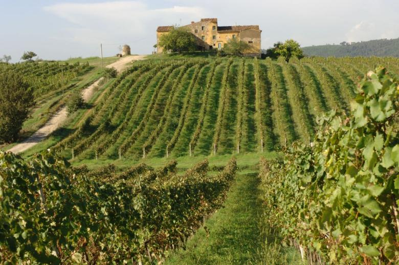 Sangiovese vineyards