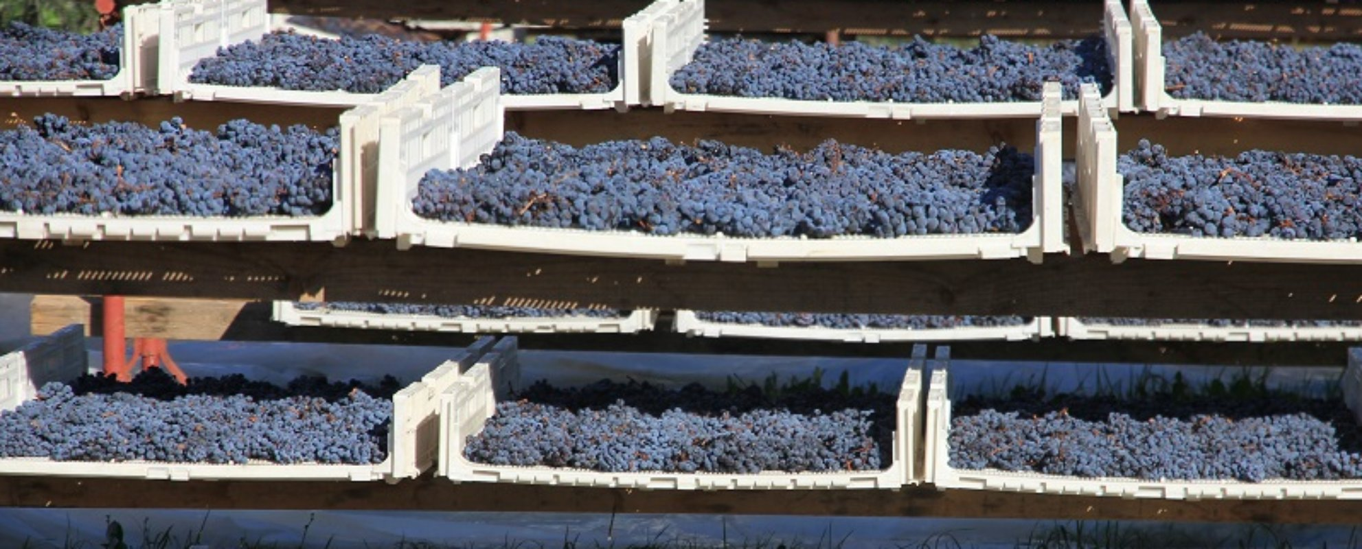Aleatico grapes