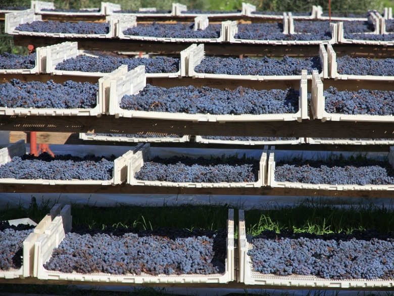 The harvested grapes are usually put out to dry in the sun and in the shade for a period that varies between 10 to 15 days, depending on climate conditions