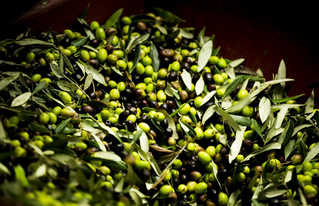 Just picked olives - [Photo credits: Stefano Casati, Laudemio srl]