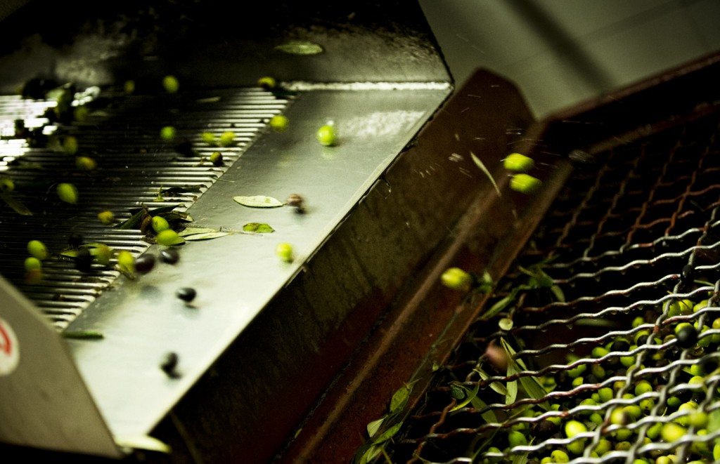 Olives are washed and separated from the leaves - [Photo credits: Stefano Casati, Laudemio srl]