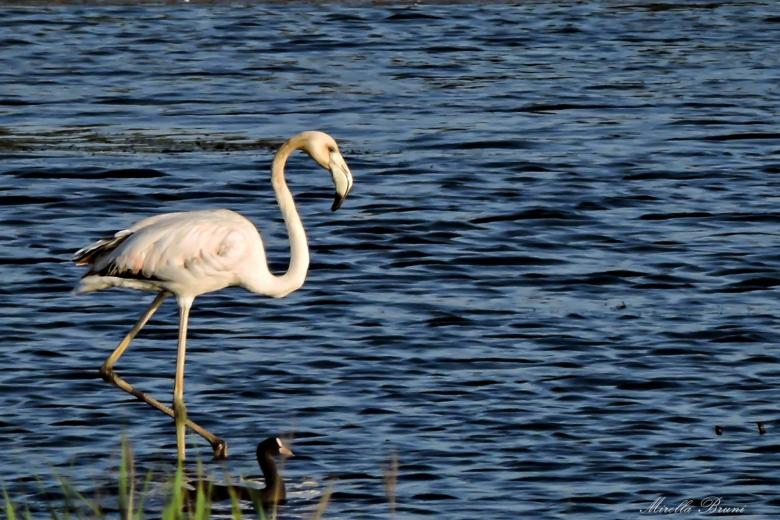 Flamingo in the Orti-Bottagone Natural Reserve