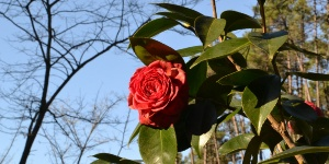 Camellia from Lucchesia