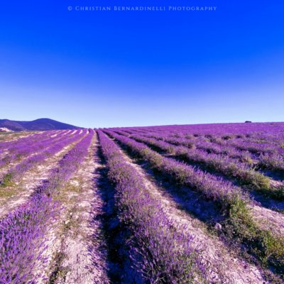 Lavender fields in Tuscany