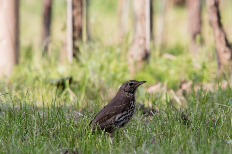A thrush at Bottaccio oasis