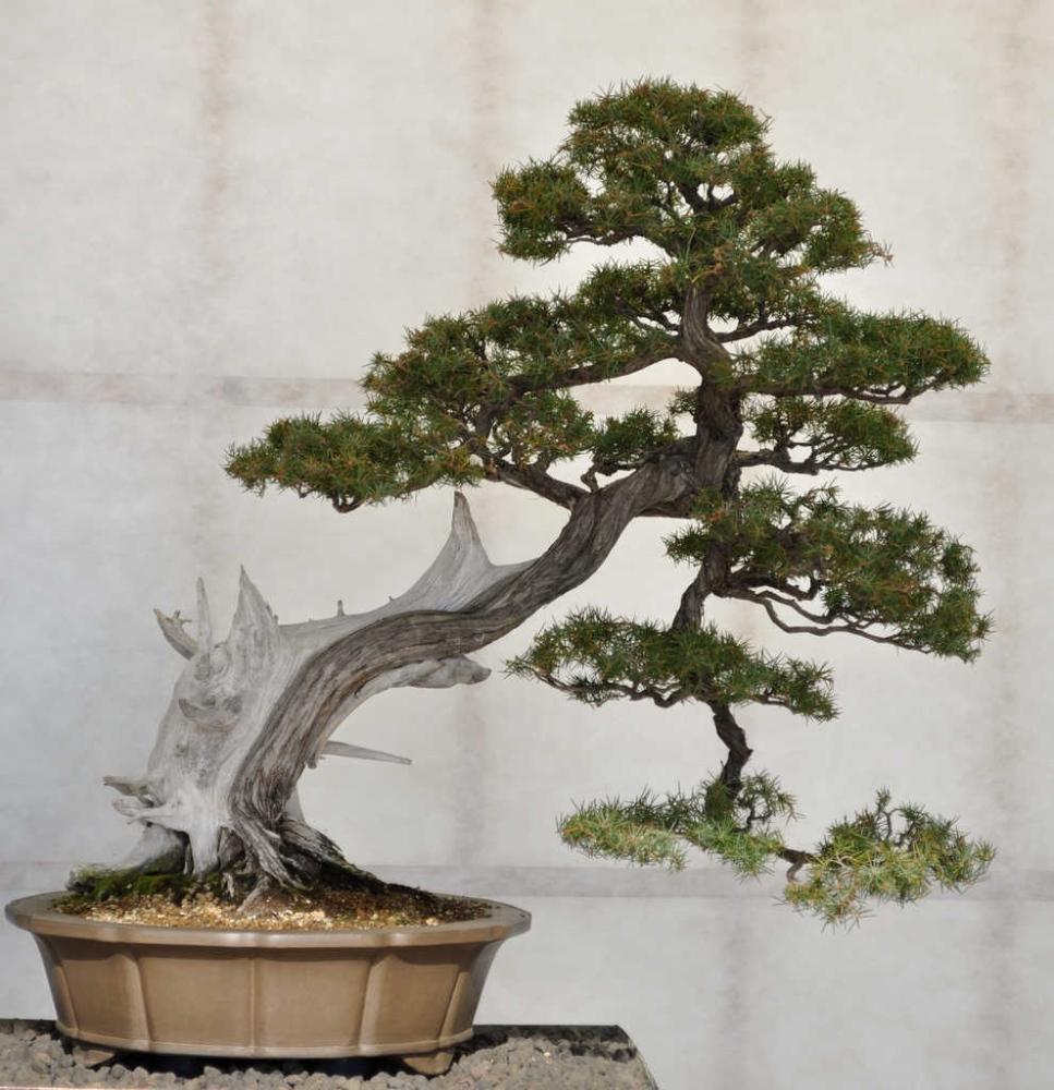 Il museo del bonsai visit tuscany for Dove comprare bonsai