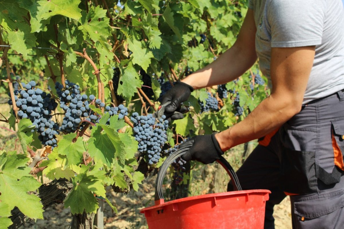 Grape harvest at Usiglian del Vescovo winery (Pisa)