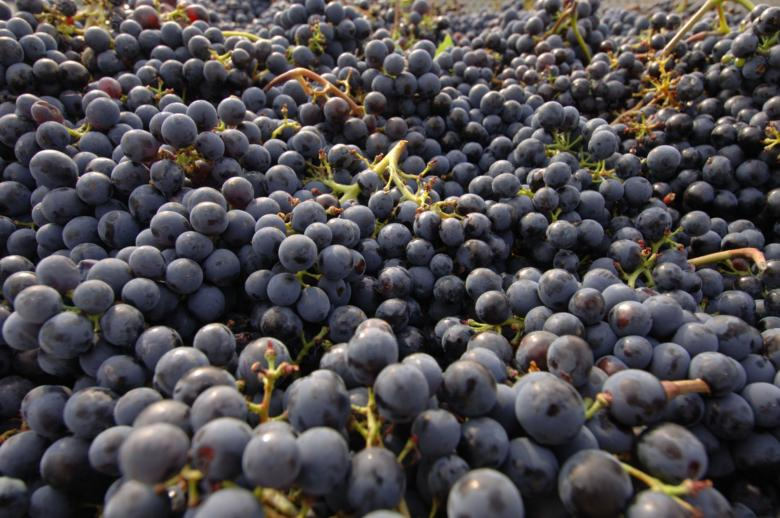 Grapes of Chianti