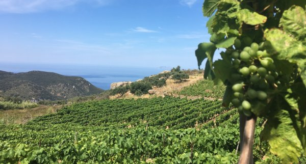 Ansonica vineyards on Giglio Island