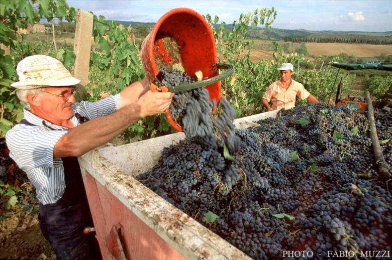 La vendemmia in Toscana
