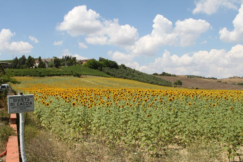Montisi sunflowers