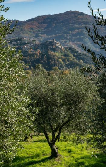 Olive groves in Valdinievole
