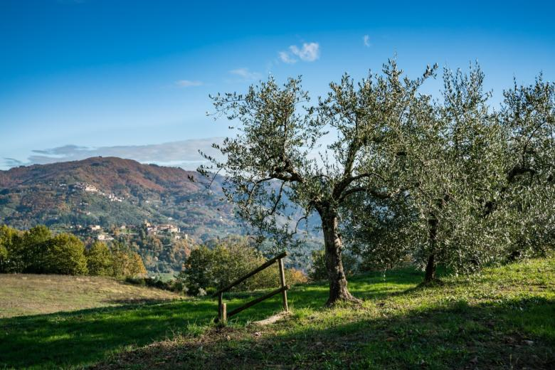 Olive groves in the Valdinievole