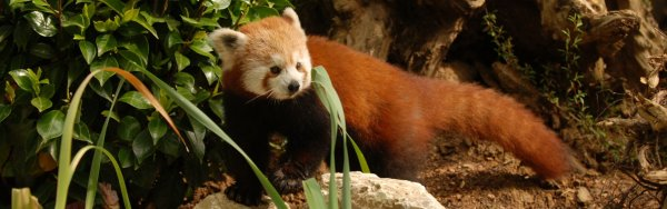 Pistoia zoo red panda