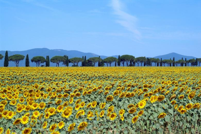 sunflower fields in Maremma