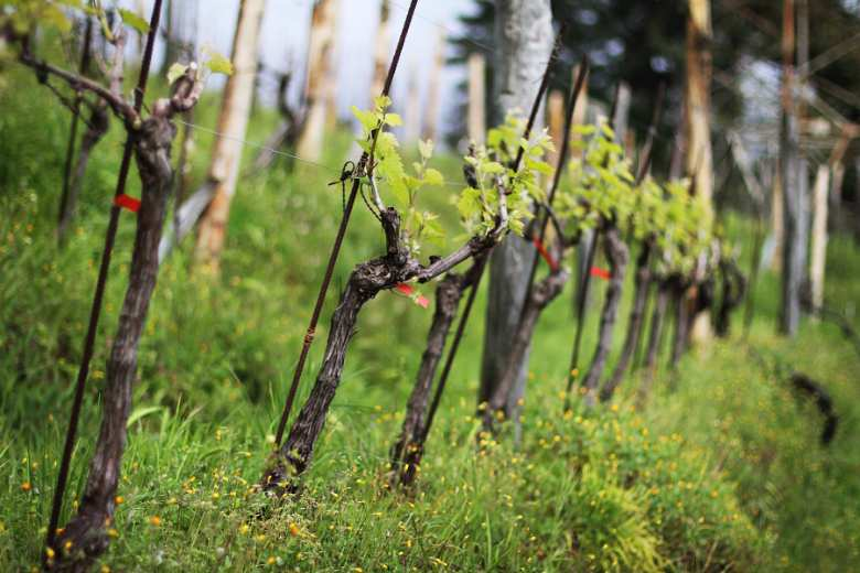 Vineyard in Massa, Tuscany